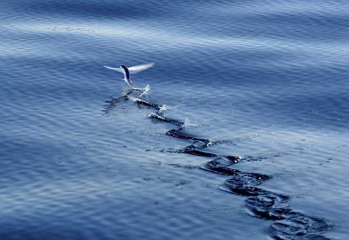 pez volador (Exocoetidae)