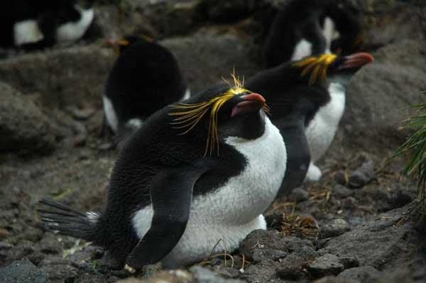 pingüino de penacho amarillo del norte
