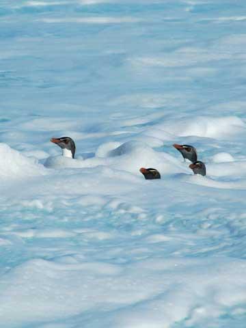 pingüinos de macaroni
