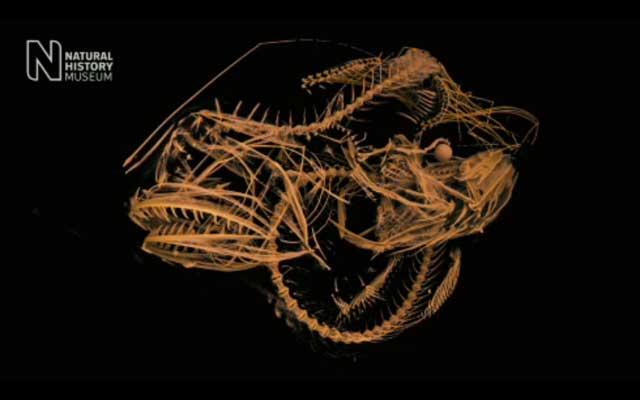 interior en 3D del rape con el estómago dilatado