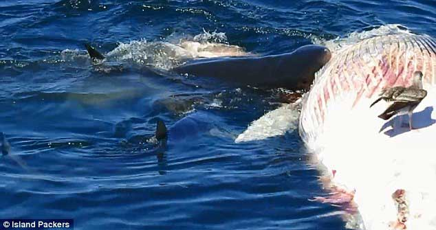 tiburón blanco muerde el cadáver de una ballena