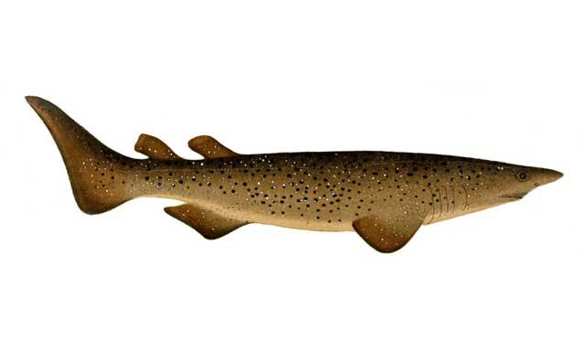 tiburón zarza (Echinorhinus brucus) ilustración
