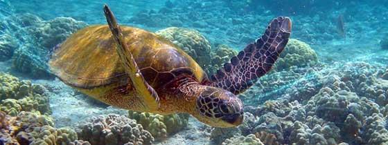 tortuga marina, salud del océano