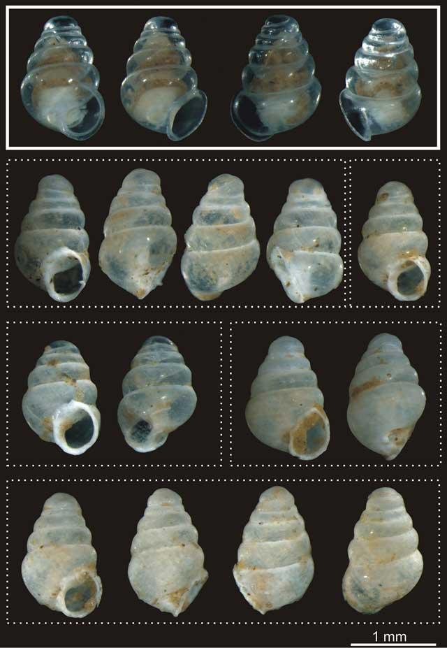 nuevo caracol Zospeum tholussum