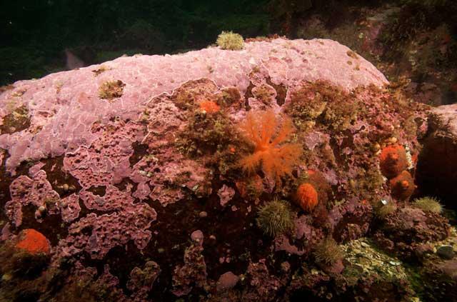algas coralinas (Clathromorphum compactum)