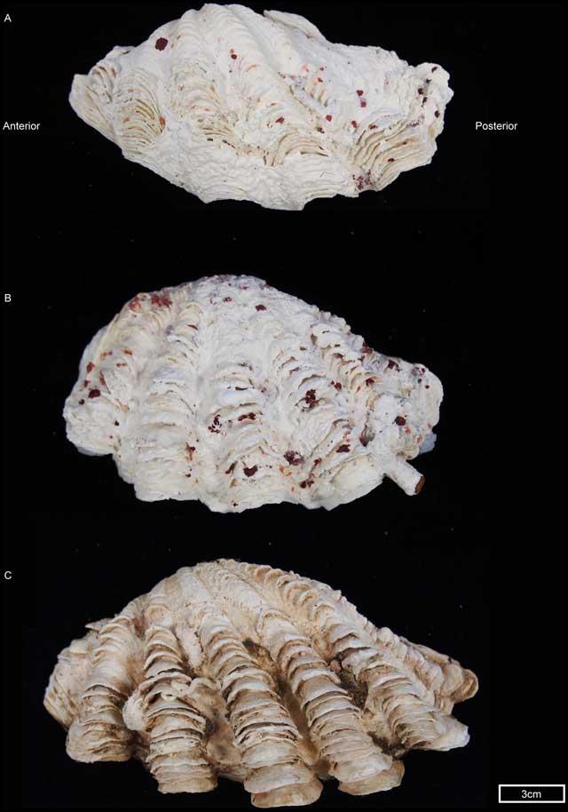 nueva almeja gigante del género Tridacna