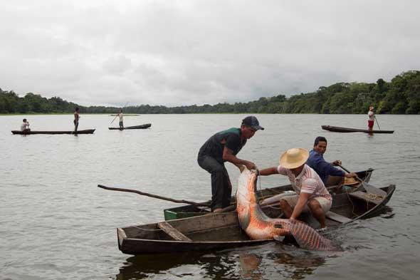 una arapaima es subido a la canoa
