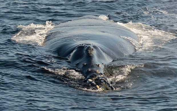 ballena franca del Pacífico Norte avistada en Canadá