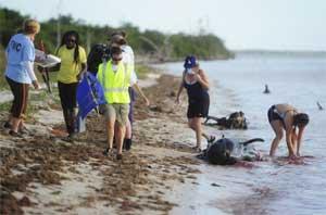 ballenas piloto varadas en los Everglades