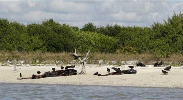 ballenas piloto varadas en los Everglades, Florida