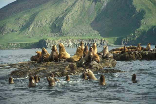 colonia de león marino de Steller (Eumetopias jubatus)