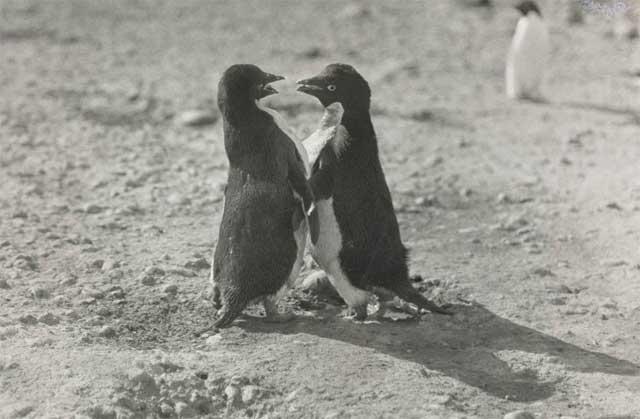 cortejo de apareamiento de pingüinos adelia