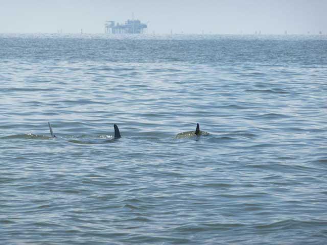 delfines en el Golfo de México
