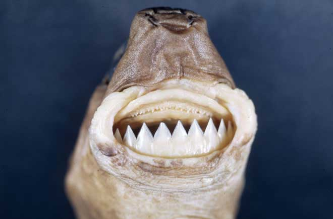dientes de un tiburón cortador de galletas (Isistius brasiliensis)