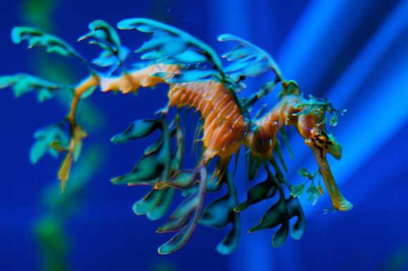 dragón de mar foliáceo (Phycodurus eques)