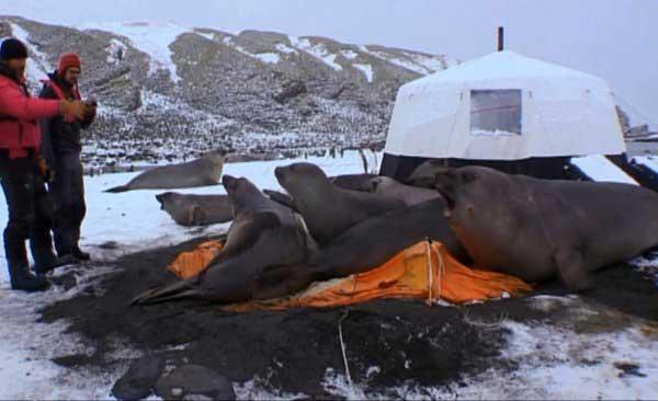 Elefantes marinos destruyen la tienda de camarógrafo