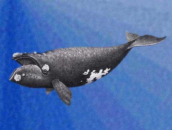 Eubalaena japonica, ilustración