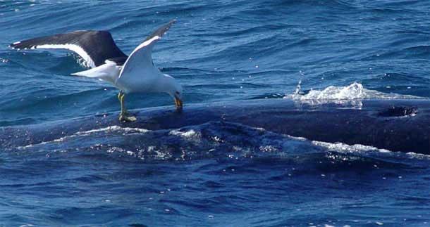 gaviota picando una ballena