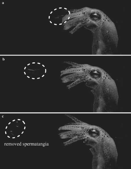 la masa bucal sopla al espermatangio del macho