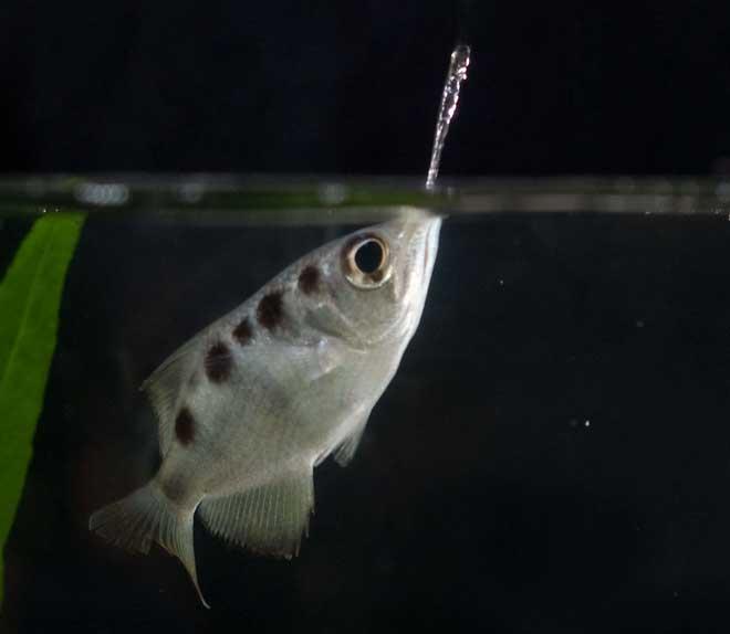 pez arquero dispara chorro de agua