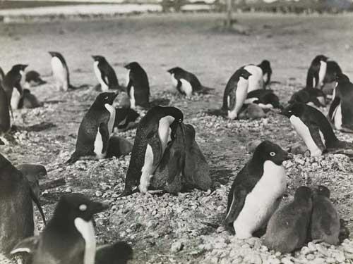 pingüinos adelia con sus polluelos