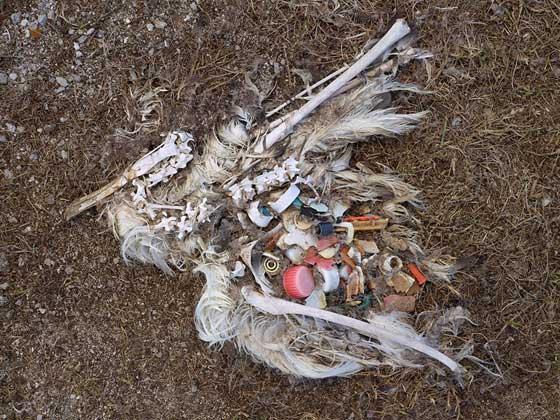plásticos en el estómago de un ave