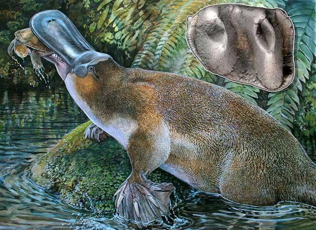 Platypus Godzilla (Obdurodon tharalkooschild)