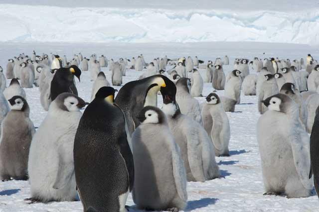 pollitos de pingüino emperador
