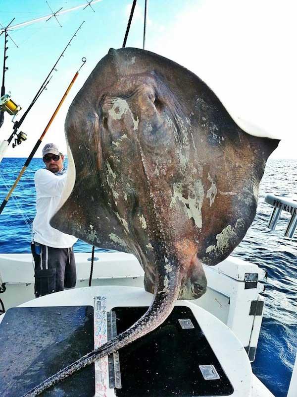 raya gigante pescada por Marcos Quartiano
