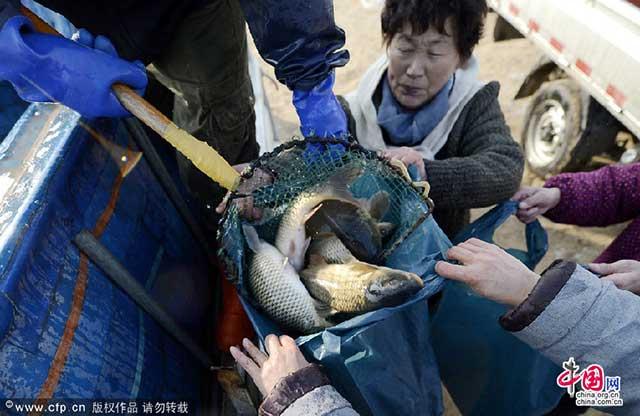 recogida de las carpas liberadas en China