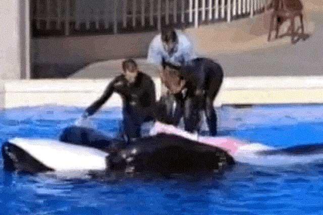 recogida de esperma de la orca Tilikum
