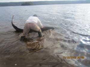 rescate de tiburón de Groenlandia varado tragando un alce