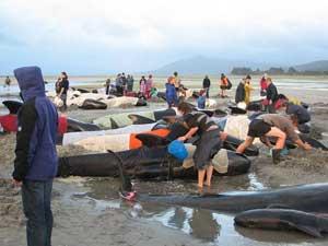 salvamento de ballenas piloto en Nueva Zelanda