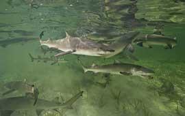 grupo de tiburones limón (Negaprion brevirostris)