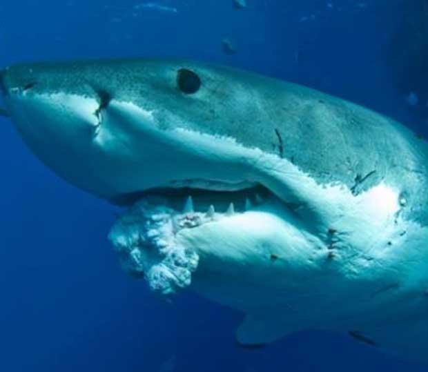tumor cancerígeno en la mandíbula de un tiburón blanco