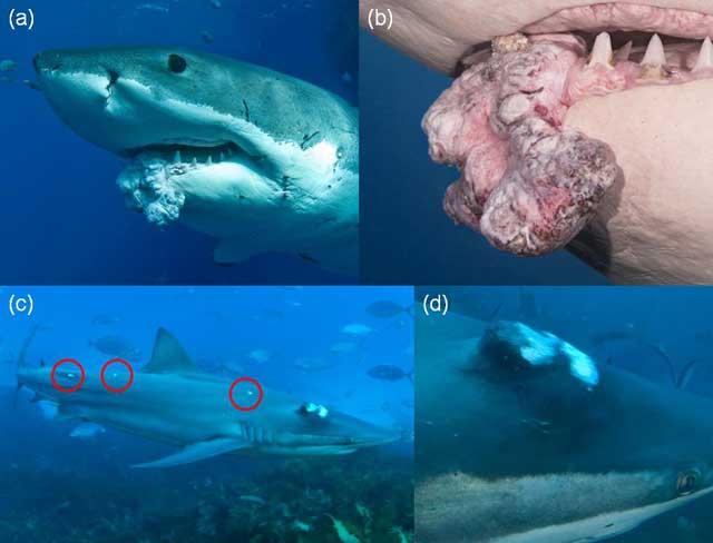 tumores cancerígenos en tiburones