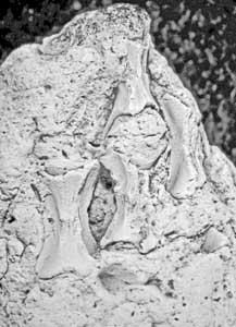 vértebras de tortuga en el coprolito de bebé de tiburón