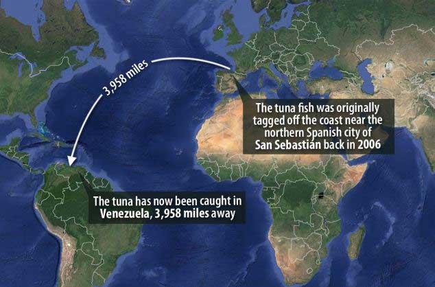 viaje de un atún de Espana a Venezuela