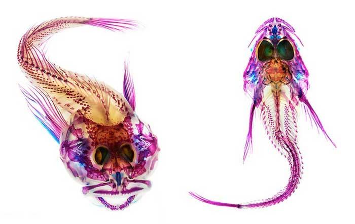 Adam Summers, pez tintado como rayos X de colores