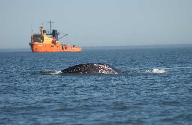 ballena gris y barco