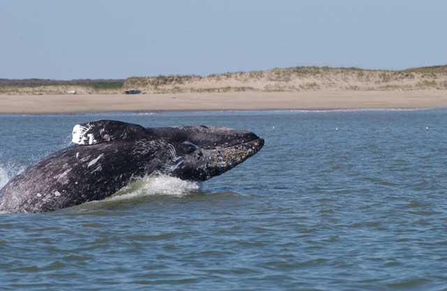 ballena gris cerca de una playa