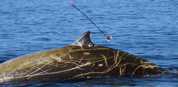 ballena picuda de Cuvier (Ziphius cavirostris)