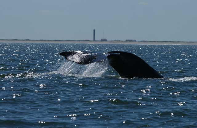 ballena gris en Sakhalin