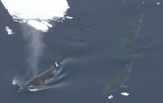 ballenas minke en el hielo marino