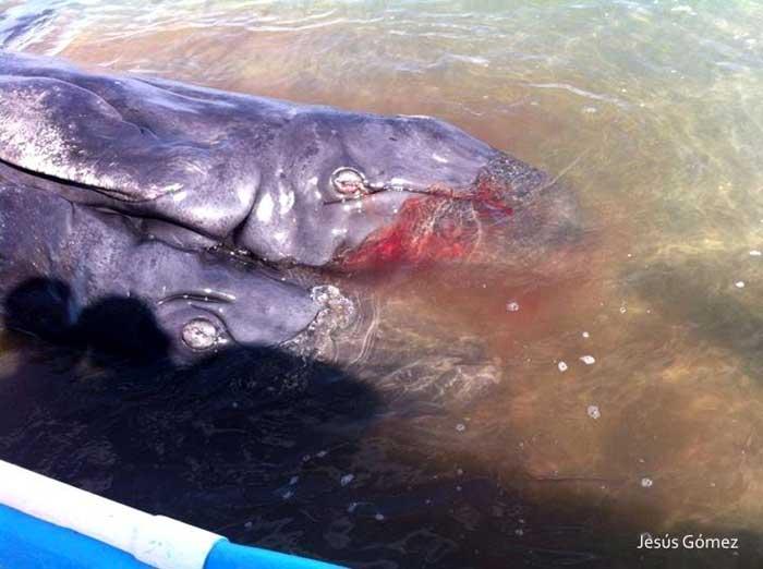 ballenato con dos cabezas en Baja California