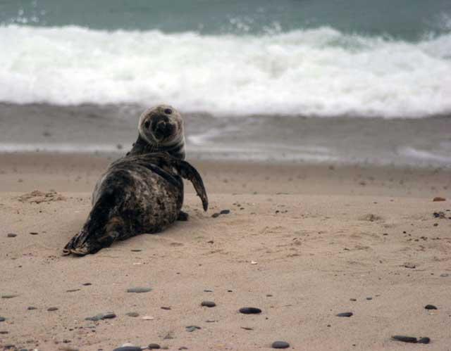 bebé de foca gris