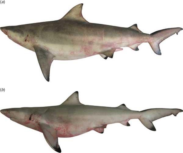 tiburón dentiliso de punta negra (Carcharhinus leiodon)