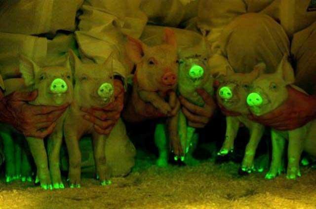 cerdos que brillan en la oscuridad