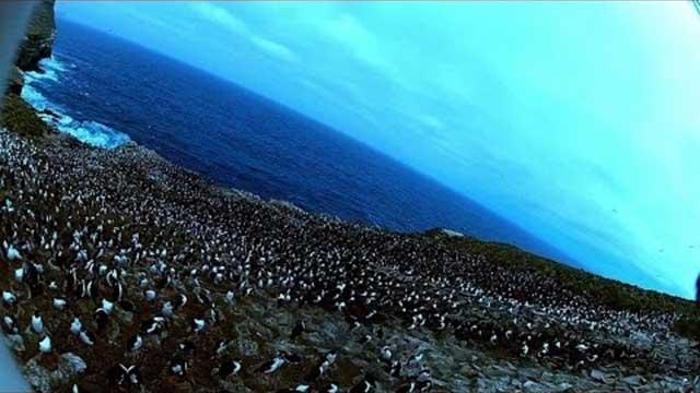 colonia pinguinos filmada por un caracara estriado