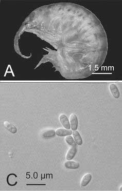 Cucumispora dikerogammari